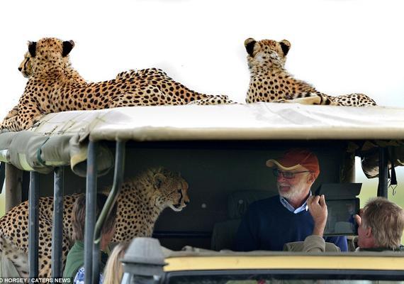 惊心动魄!爱尔兰游客游肯尼亚遇猎豹上车。