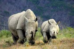 南非保护犀牛又有新招了!