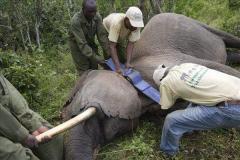 给大象装GPS?坦桑尼