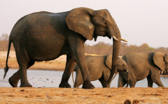 美国解禁大象、狮子战利品进口,坦桑要倒霉了!