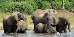 惊!博茨瓦纳近90头大象遭盗猎!