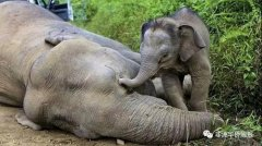 博茨瓦纳大象数量骤降,非法捕猎是罪魁祸首